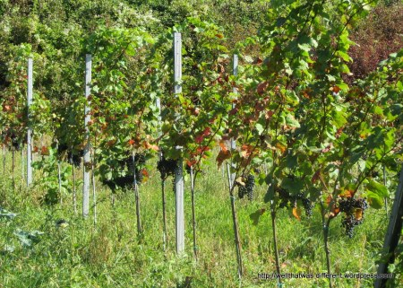 Grapes heavy on the vines.