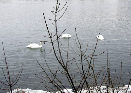 Swans fishing in the icy water.