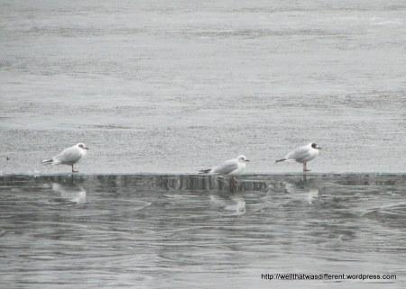 Seagulls fishing.