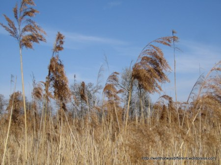 Some kind of northern swamp grass.
