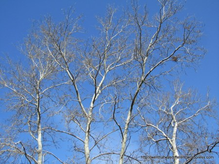 OK, one more shot of birch trees.