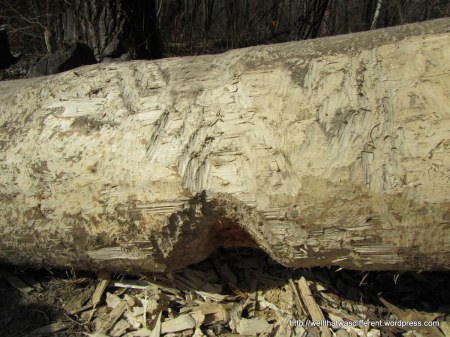 The beavers like to chew the bark off to get to the sweet sap underneath.