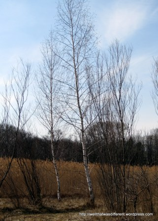 More birch trees against the winter wetland backdrop.