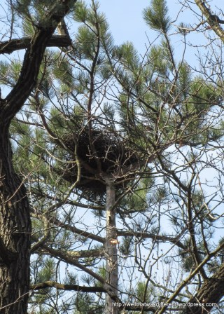 A hawk's nest at the top of a pine tree. We often see hawks circling over the Wienerwald.