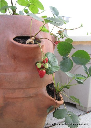 Strawberries.  OK, we are probably going to get about a dozen strawberries (if the birds don't get to them first) but I wanted to try out my strawberry pot.