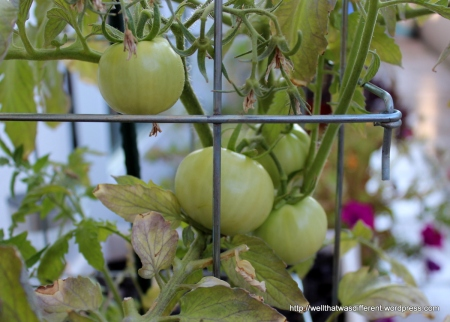 Very late tomatoes, but they look like they'll pull through.