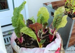 Two pots of rainbow chard. I cut this back and watered it good. I think there is probably another crop in it.