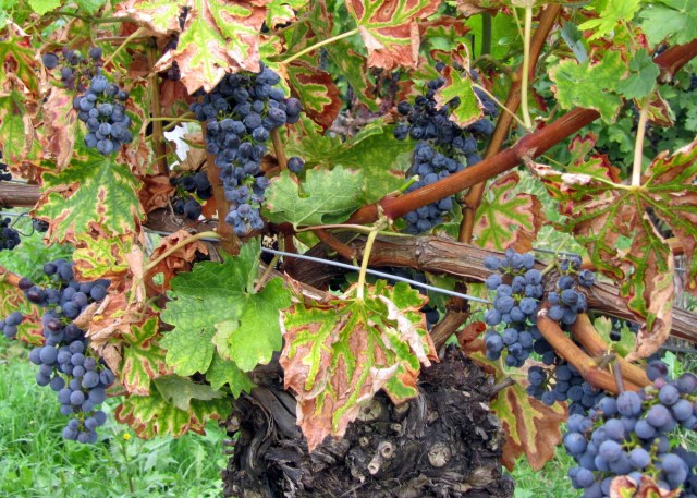 There were several different kinds of grapes growing along the way.