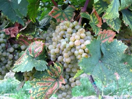 More grapes.