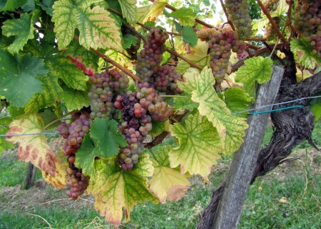 Yet more grapes.