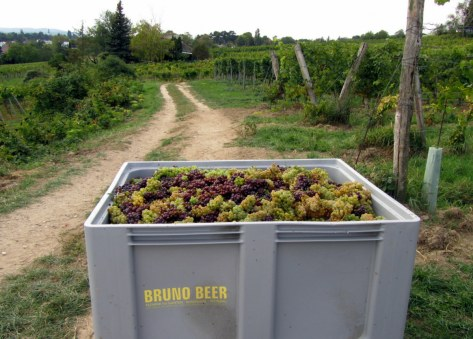 Harvested grapes ready for pickup.