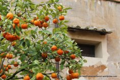 Mandarin oranges in a sheltered courtyard at the Borghese Gardens