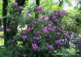 I need me some rhododendrons
