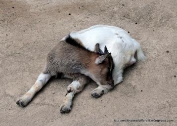 Sleepy baby goat.