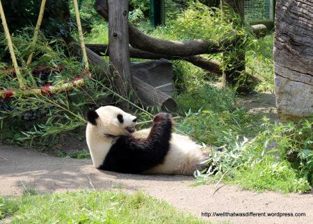 Regular panda actually awake.