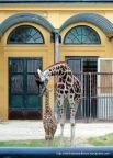 Mama giraffe and baby giraffe.
