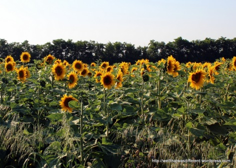 Miles of sunflowers