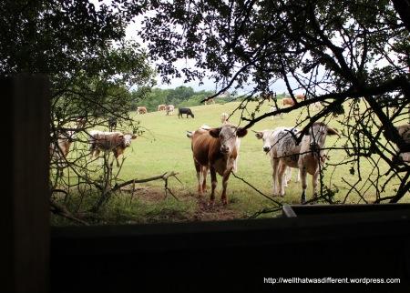 Curious cows.