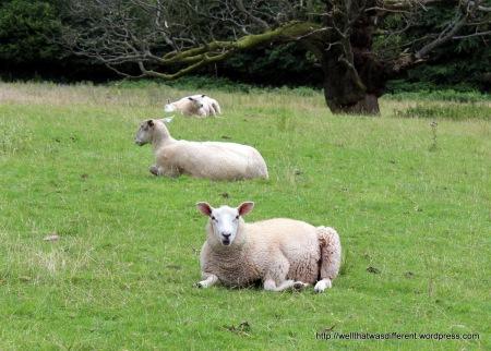 I miss the sheep.