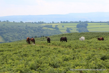 Wild Welsh ponies on the moor.