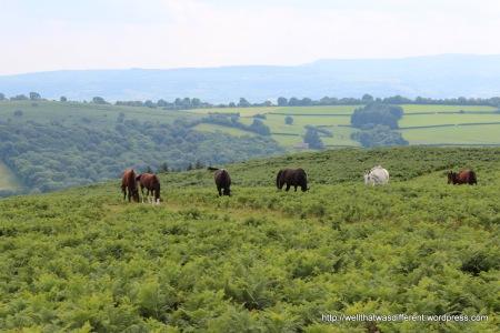 Wild Welsh ponies on the moor.