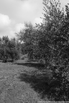 The Villa-olive grove