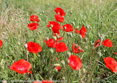 Poppies and other wildflowers everywhere