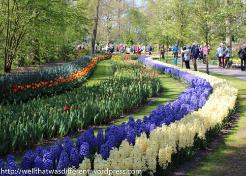 Millions of hyacinths.
