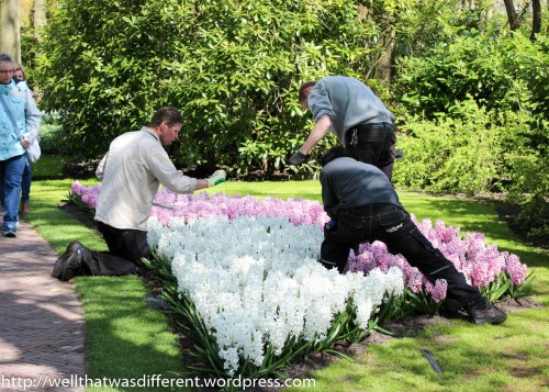 Gardeners were individually staking the hyacinths with tiny wires.