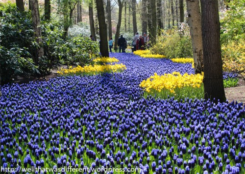 "A ""river"" of hyacinths flows through the woods."