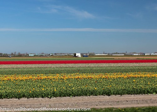 Just outside the park, acres and acres of commercial tulip fields.