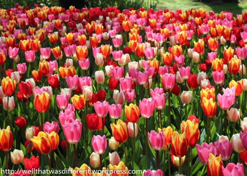 Tulips predominate in the gardens.