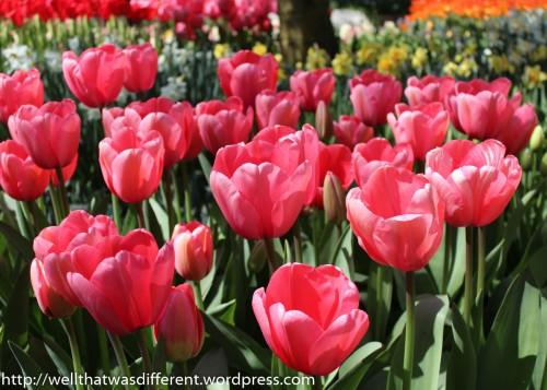 """Big Love"" tulips."